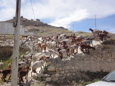 Goats in El Nacarino.